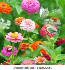 Colorful  Zinnia Garden with Butterflies