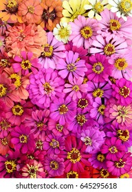 colorful Zinnia violacea flowers multi color in pink orange yellow  top view from above flat lay spring summer nature background (2)