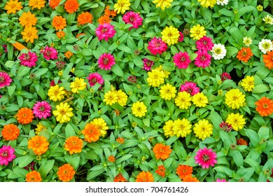 Colorful Zinnia violacea flowers multi color