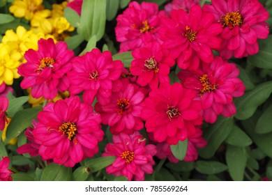 Colorful Zinnias in the garden