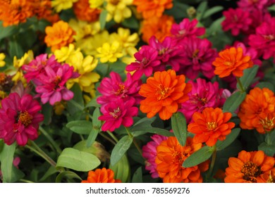 Colorful Zinnias in the garden