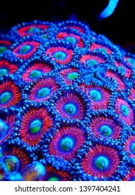 Colorful Zoanthus polyps colony aquacultured in coral reef aquarium tank