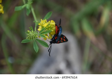 A colorful Zygaenid moth (also called burnet or forester moth) feeding at a flower in the hills of Bosnia