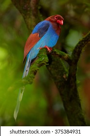 Colorful,endemic to Sri Lanka, blue and chestnut magpie with long tail,Ceylon Blue Magpie, Urocissa ornata,perched on mossy branch in Sinharaja forest against blurred   green branches in background.