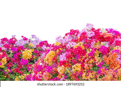 Colorfull Bougainvillea (paper flower) tropical flower climber vine landscape plant isolated on white background,