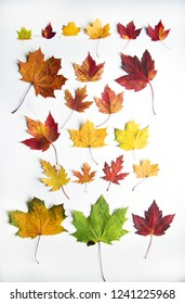 Colorfull collection of maple tree in different colours.  Green, red, orange and yellow on white background,
