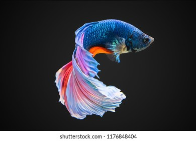 Colorfull Fighting fish on black background. Siamese fighting fish. Betta fish,betta splendens isolated on black background