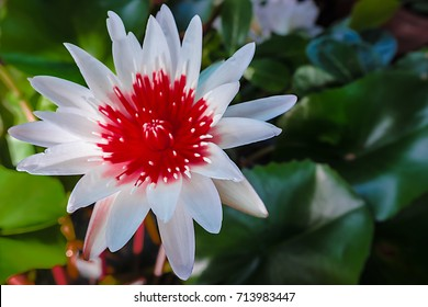 Colorfull Lotus is famous of Thailand is beautiful flower in a bright day in the beautiful garden.