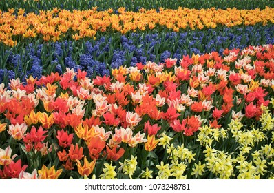 colorfull tulips. selective focus used.