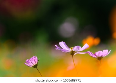 Colorfully blooming cosmos flower field