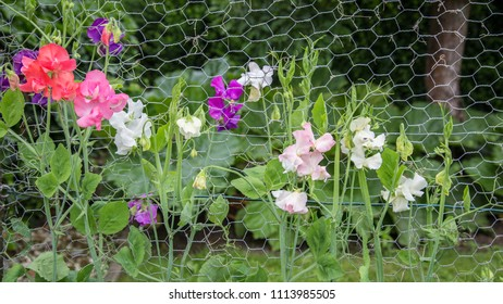 Colororful lathyrus growing along mesh fence  in the garden