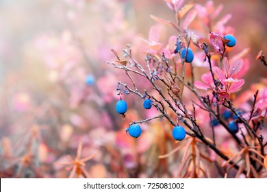 Colors of autumn. Blueberries grow in the forest. Karelia. Russia