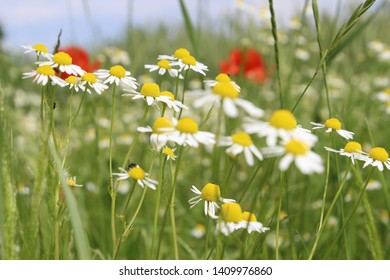 The colors of a Spring described by a bouquet of wild chamomile in a field where poppies are in bloom.