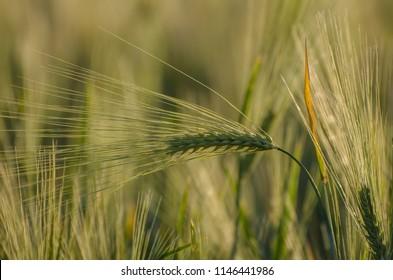 Colossus of barley