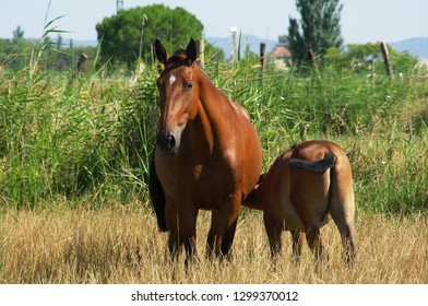 Colostrum is the main food of a foal in its first months of life.