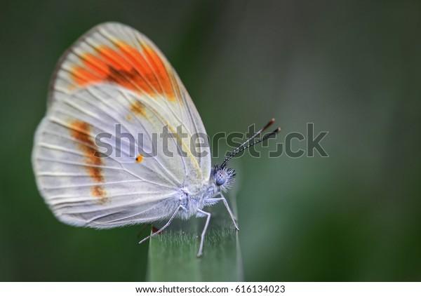 Sưu tập Bộ cánh vảy 3 - Page 7 Colotis-euippe-butterfly-tanzania-600w-616134023
