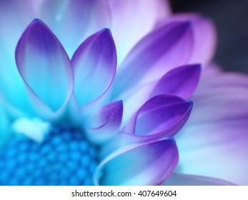Colour changed dahlia flower