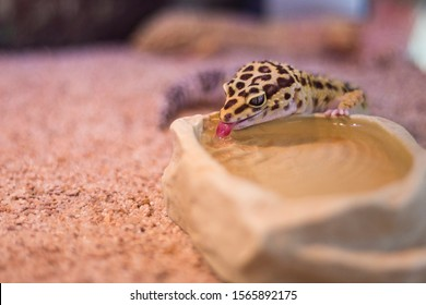 colour changing Lizard drinking colourless water