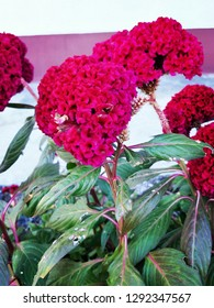 the colour of Cockscomb flowers
