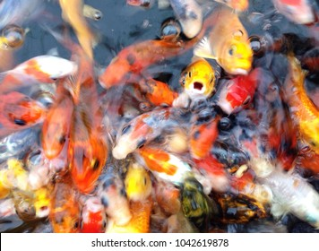 Colour image of dozens of Koy Carp thrashing about with one seemingly looking at the camera.