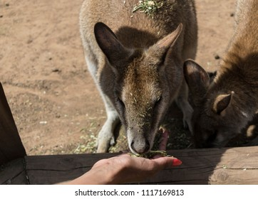 Colour image of a kangaroo being fed by hand at a Zoo in Sydney