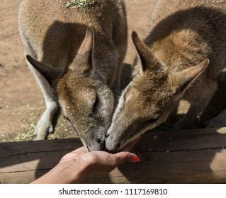 Colour image of a pair of kangaroo being fed by hand at a Zoo in Sydney