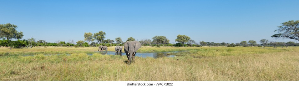 A colour panorama photograph of three elephants, Loxodonta africana, at a waterhole in a vast grassy clearing in the Okavango Delta, Botswana.