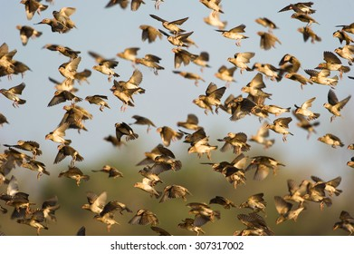 A colour photograph with a shallow depth of field of a flock of red-billed queleas, Quelea quelea, in flight in Mashatu Game Reserve, Northern Tuli, Botswana.