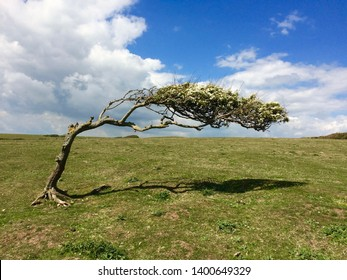 A colour photograph of a wind bent hawthorn tree on an exposed hillside with blue sky.
