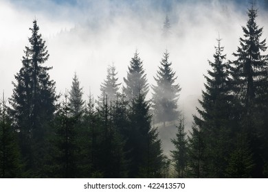 Colour picture of trees on a mountain on a foggy morning at sunrise
