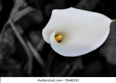Colour Pop of a White Arum Lily
