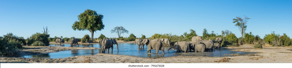 A colour, side lit, panorama image of a herd of elephants, Loxodonta africana, bathing and drinking at a dwindling waterhole in Savute, Botswana.