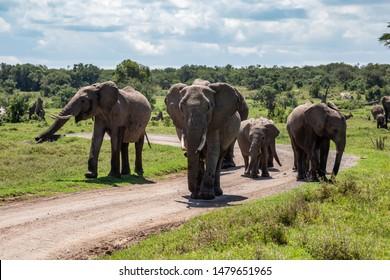 Colour wildlife photograph of herd of Elephants walking towards camera in wild Kenyan landscape on dirt track, taken on Ol Pejeta conservancy, Kenya.