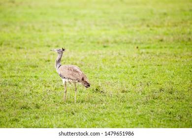 Colour wildlife portrait of Kori Bustard (Ardeotis kori) standing in profile on large area of grass, taken on Ol Pejeta conservancy, Kenya.
