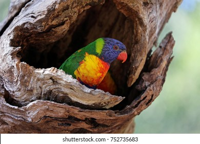 A colourful Australian Rainbow Lorikeet nestled in the hollow of a gum tree.