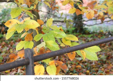 colourful autumn leaves in woodland with iron railing fence