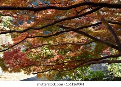 Colourful Autumn leaves in Yoshino, Nara Prefecture, Japan, 2019.