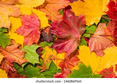 Colourful autumn maple leaves background