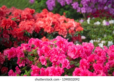 Colourful beautiful bright blooming azalea bushes