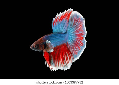 Colourful Beta fighter fish