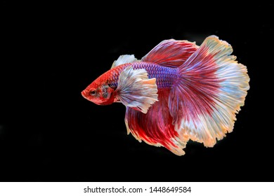 Colourful Betta fish,Siamese fighting fish in movement isolated on black background. Capture the moving moment of colourful siamese fighting fish isolated on black background,