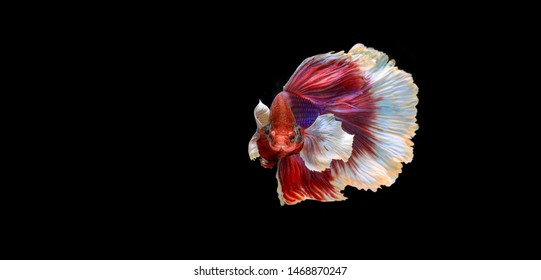 Colourful Betta fish,Siamese fighting fish in movement isolated on black background. Capture the moving moment of colourful siamese fighting fish isolated on black background.