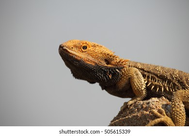 A colourful Central Bearded Dragon lizard basks on top of a fence post.