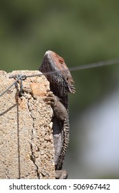A colourful Central Bearded Dragon lizard hangs on to the side of a concrete fence post on outback Australia.