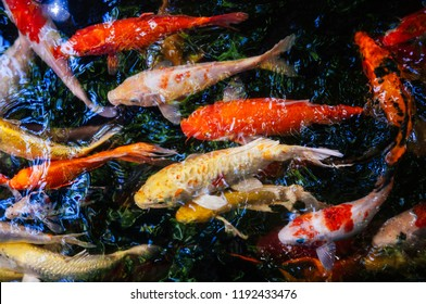 Colourful charming Koi Carp Fishes moving in pond with shadow and light reflection, Carp fishes swims under water surface