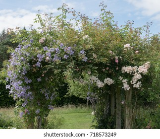 Colourful Clematis and Roses Climbing over a Wooden Pergola in a Country Cottage Garden in Rural Devon, England, UK