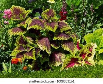 Colourful close up of Coleus solenostemon in the border of a Flower Garden border