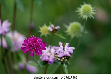 colourful close up of a purple scabiosa, a pink nettle flower and green seed balls in the background