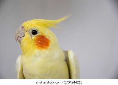 Colourful Cockatiel on grey background