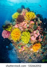 Colourful corals in Anilao , Batangas , Philippines